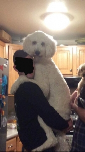 Poodle looking for a date Listing Image