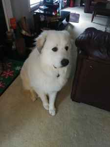 Purebreed male pyrenees looking to breed Listing Image
