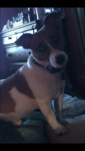 Male Short Legged and Short Haired Jack Russell Terrier Available for Breeding Listing Image