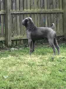 Blue shar pei male for stud  Listing Image