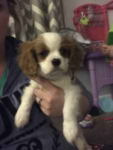 Male Cavalier King Charles looking for Beautiful Female Listing Image