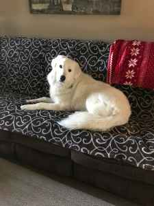 Great Pyrenees Purebred Male Listing Image