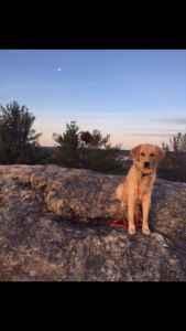 Working Dog Golden Retriever Stud Listing Image
