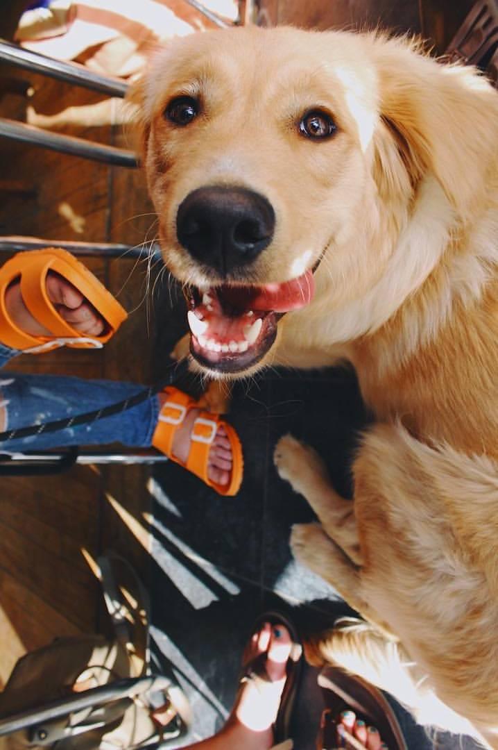 Working Dog Golden Retriever Stud Listing Image Big