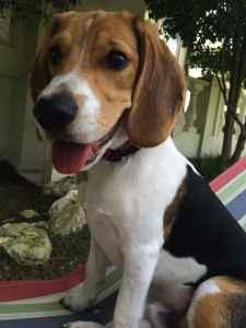 Beautiful Beagle Boy Listing Image