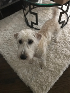 Soft Coated Wheaten Terrier looking for a Father Listing Image