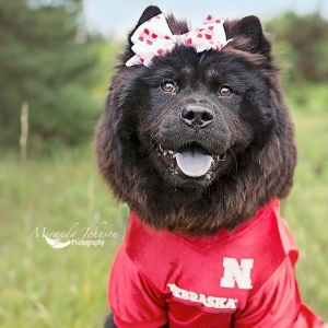 Looking to breed female Chow Chow Listing Image