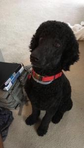 Blue/Black Standard Poodle Stud Listing Image