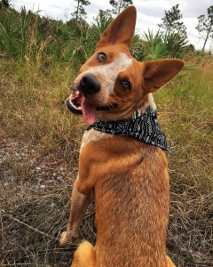 Red Australian cattle dog for stud Listing Image