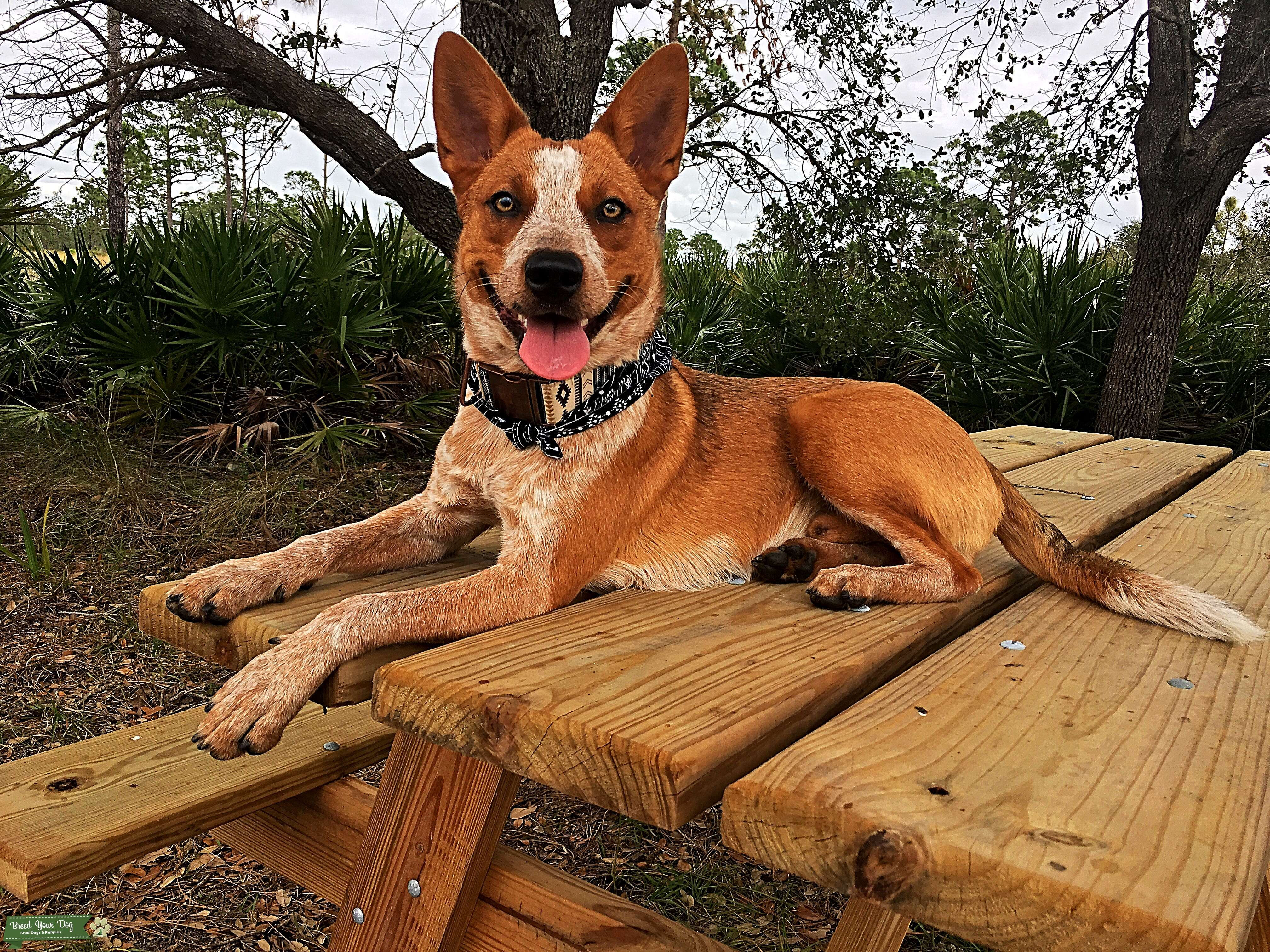 Stud Dog Red Australian Cattle Dog For Stud Breed Your Dog