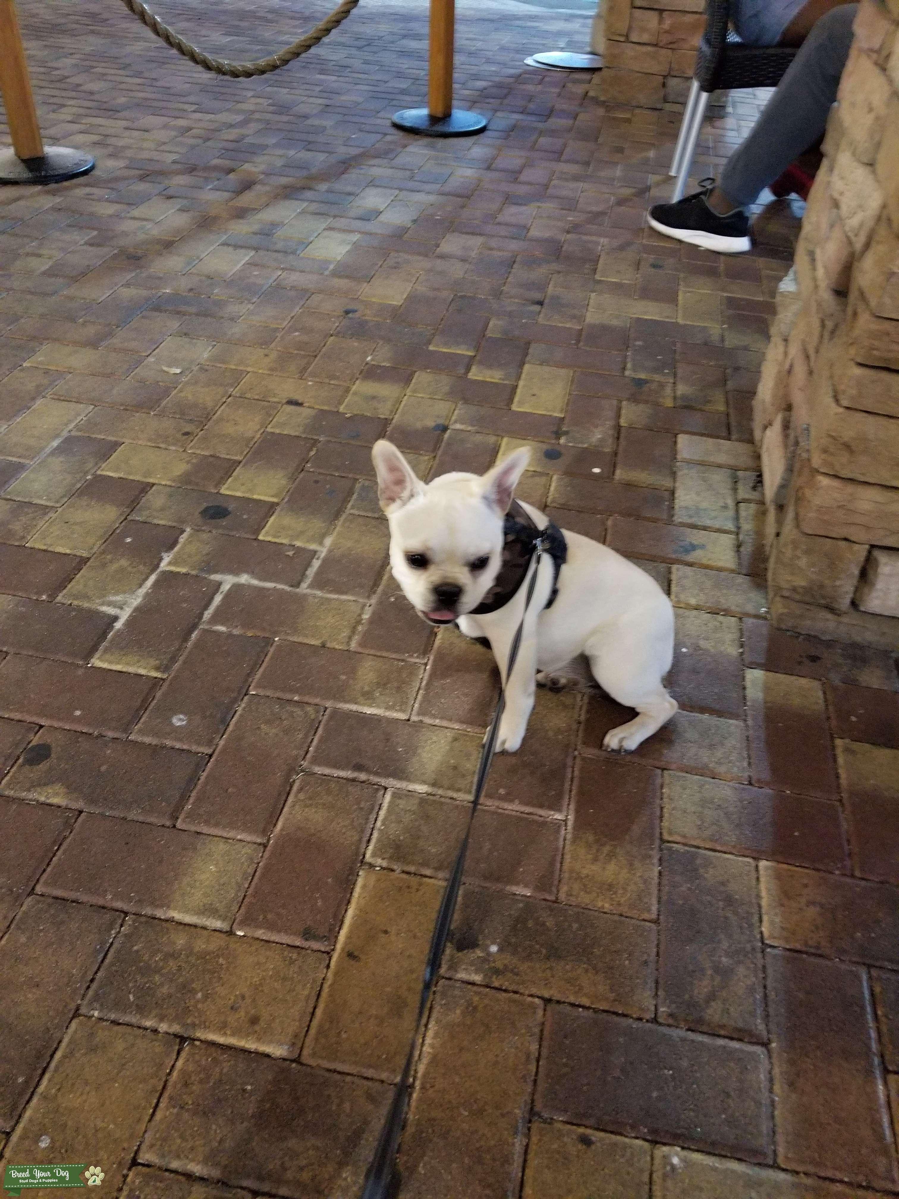 Cream French bulldog Listing Image Big