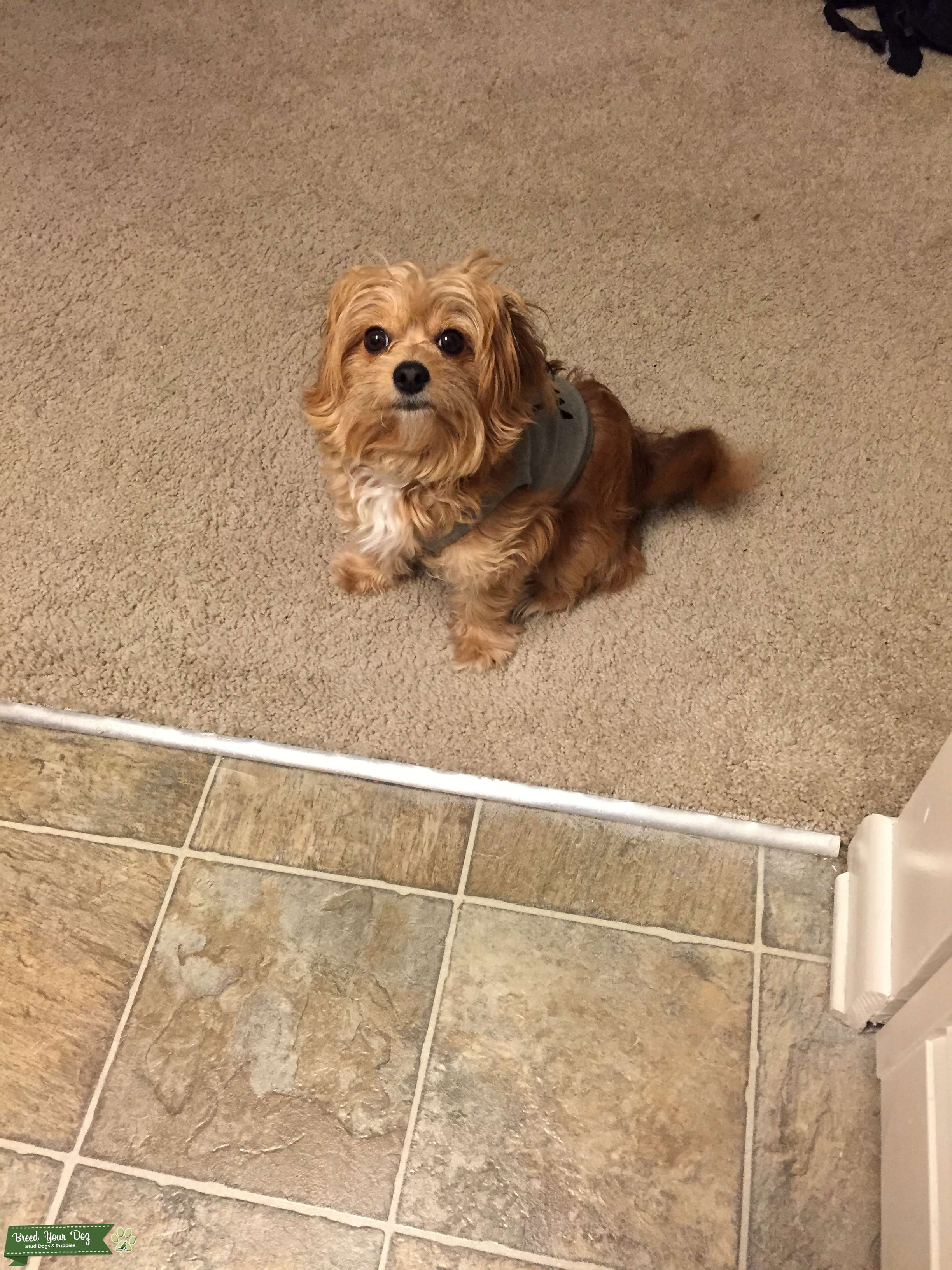 stud dog - long haired chihuahua toy poodle mix