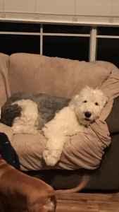 Old English Sheepdog for Stud Listing Image