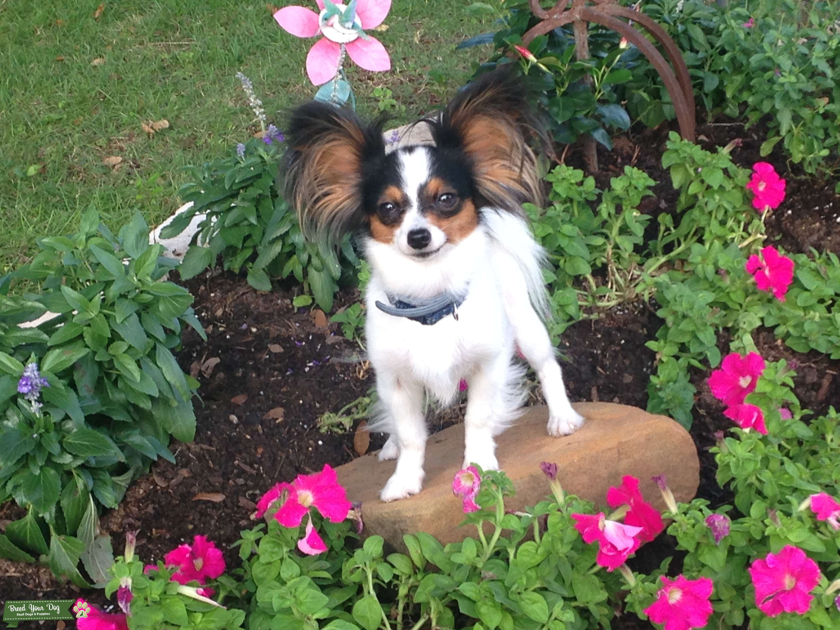2 1/2 year old, 4.5 pound female Tri-color Papillon Listing Image Big