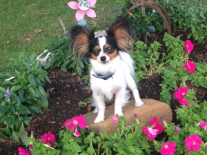 2 1/2 year old, 4.5 pound female Tri-color Papillon Listing Image