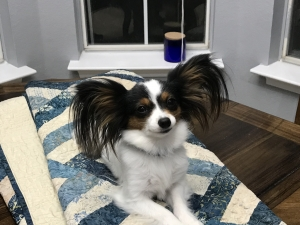 2 1/2 year old, 4.5 pound female Tri-color Papillon Listing Image Thumbnail