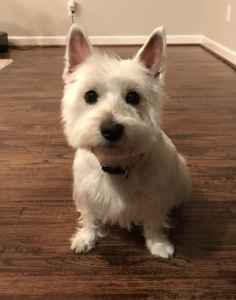 Westie girl looking for a boyfriend Listing Image
