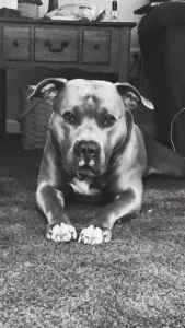 Beautiful Pure Breed Pit Bull Listing Image