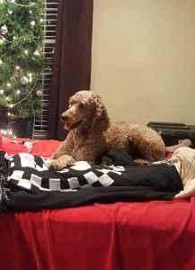 AKC Red Standard Poodle Stud $1,500.00 Listing Image