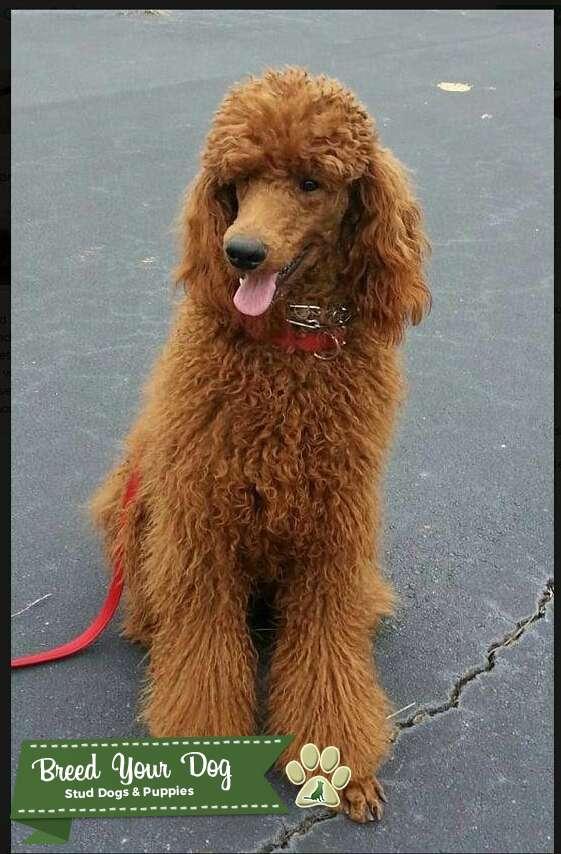 AKC Red Standard Poodle Stud $1,500.00 Listing Image Big
