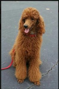 AKC Red Standard Poodle Stud $1,500.00 Listing Image Thumbnail