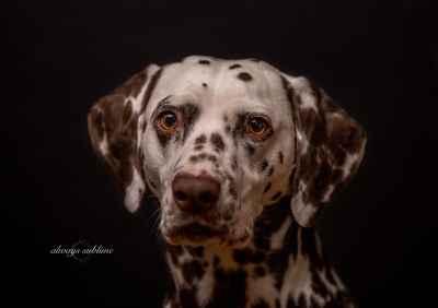 Dalmatian (Liver Spots)  Listing Image