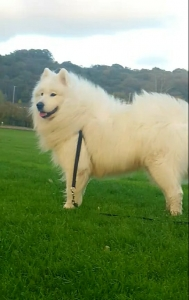 Handsome Samoyed for STUD  Listing Image