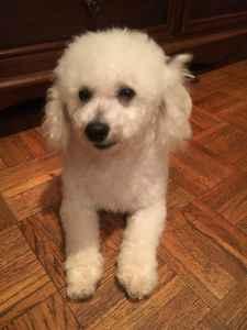 Bichon Frise Male Dog Listing Image