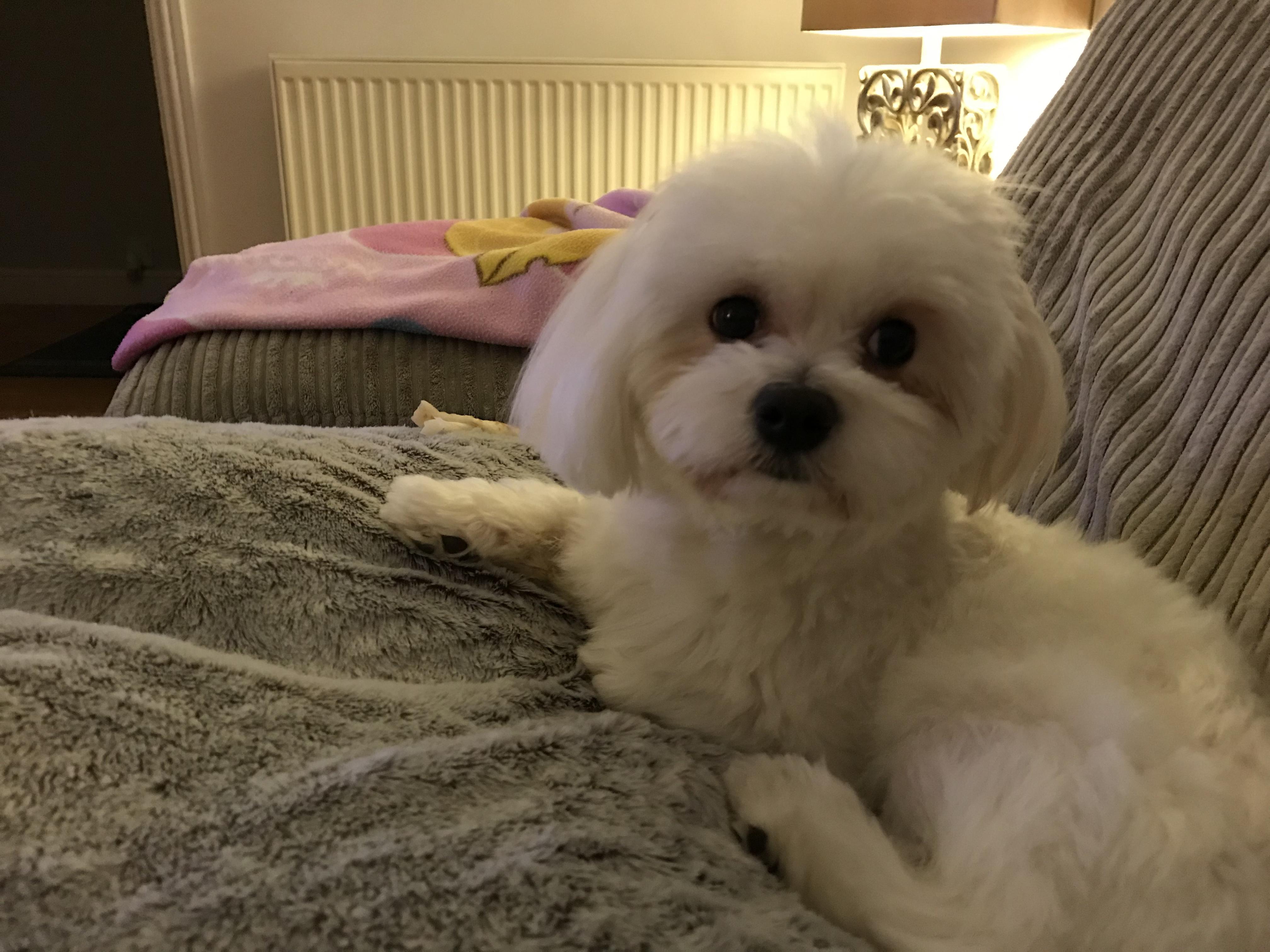 Maltese terrier Listing Image
