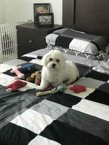 Looking for female Maltese to breed my male Maltese  Listing Image