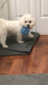 Looking for female Maltese to breed my male Maltese  Listing Image Thumbnail