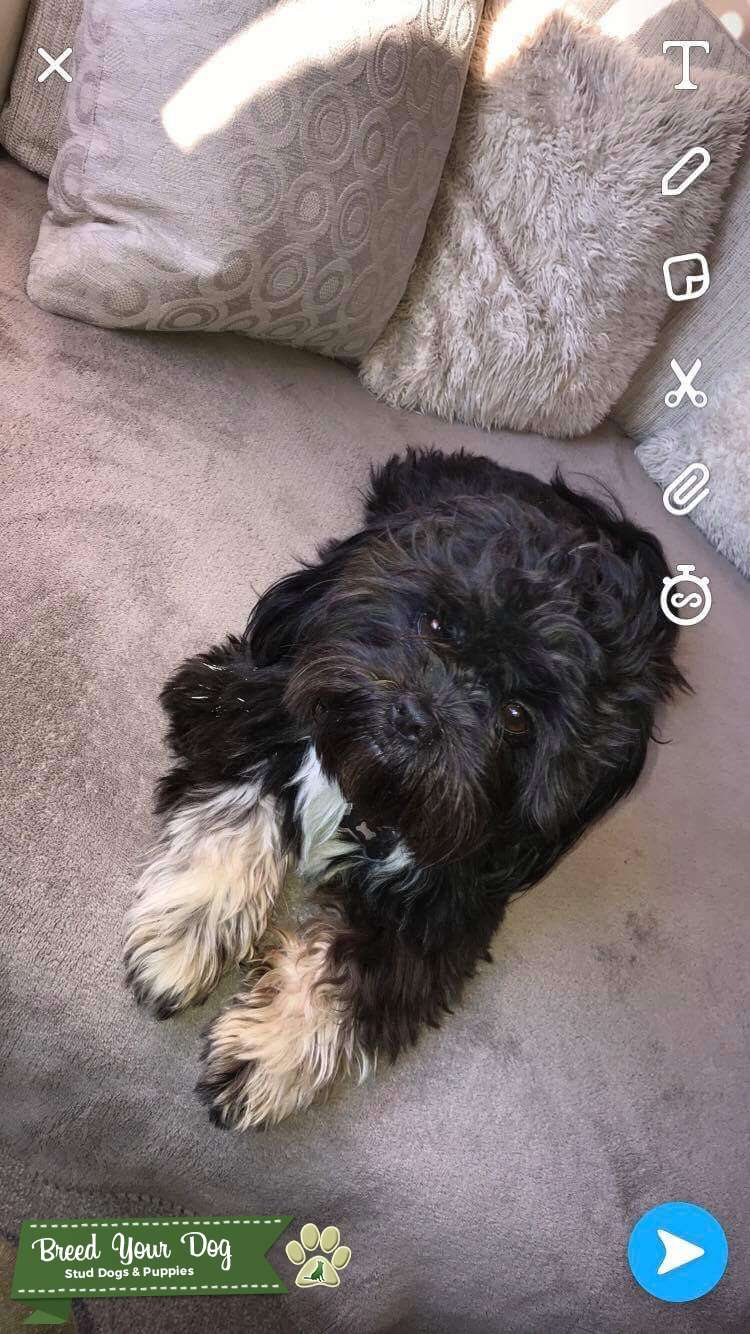Proven Lhasa apso stud (ozzy)  Listing Image Big
