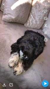 Proven Lhasa apso stud (ozzy)  Listing Image Thumbnail