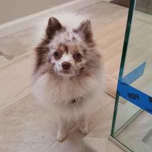 Unique Pomeranian Up For Stud - $450 (Portland, OR)  Listing Image