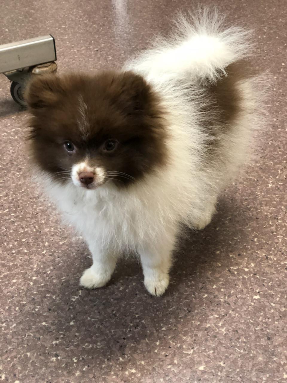 Unique Pomeranian Up For Stud - $450 (Portland, OR)  Listing Image Big