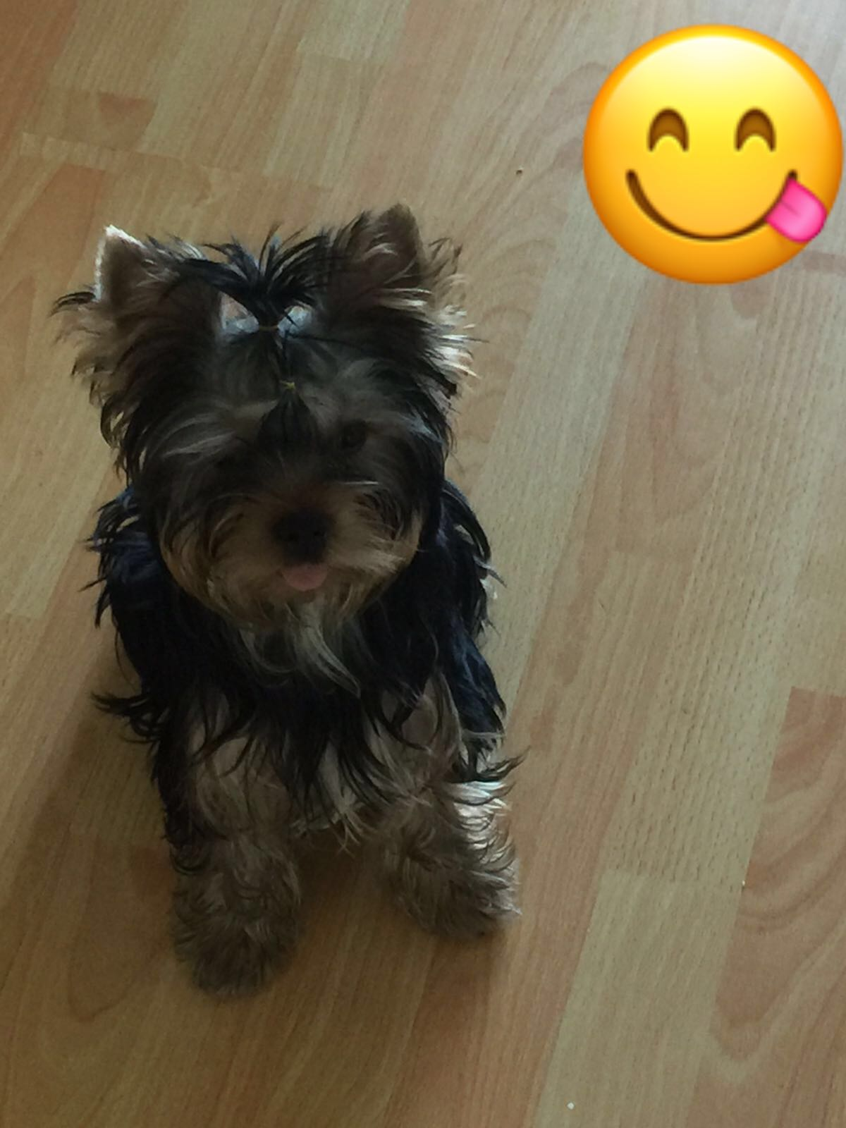 Male Yorkie Terrier -Proven Listing Image