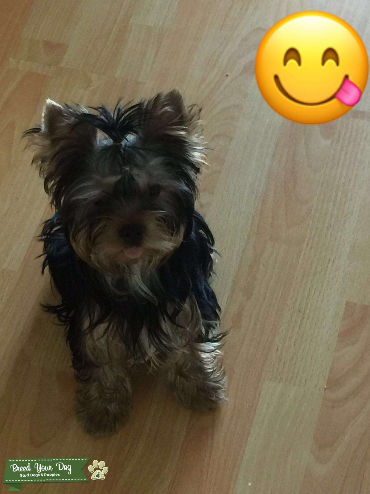 Male Yorkie Terrier -Proven Listing Image Big