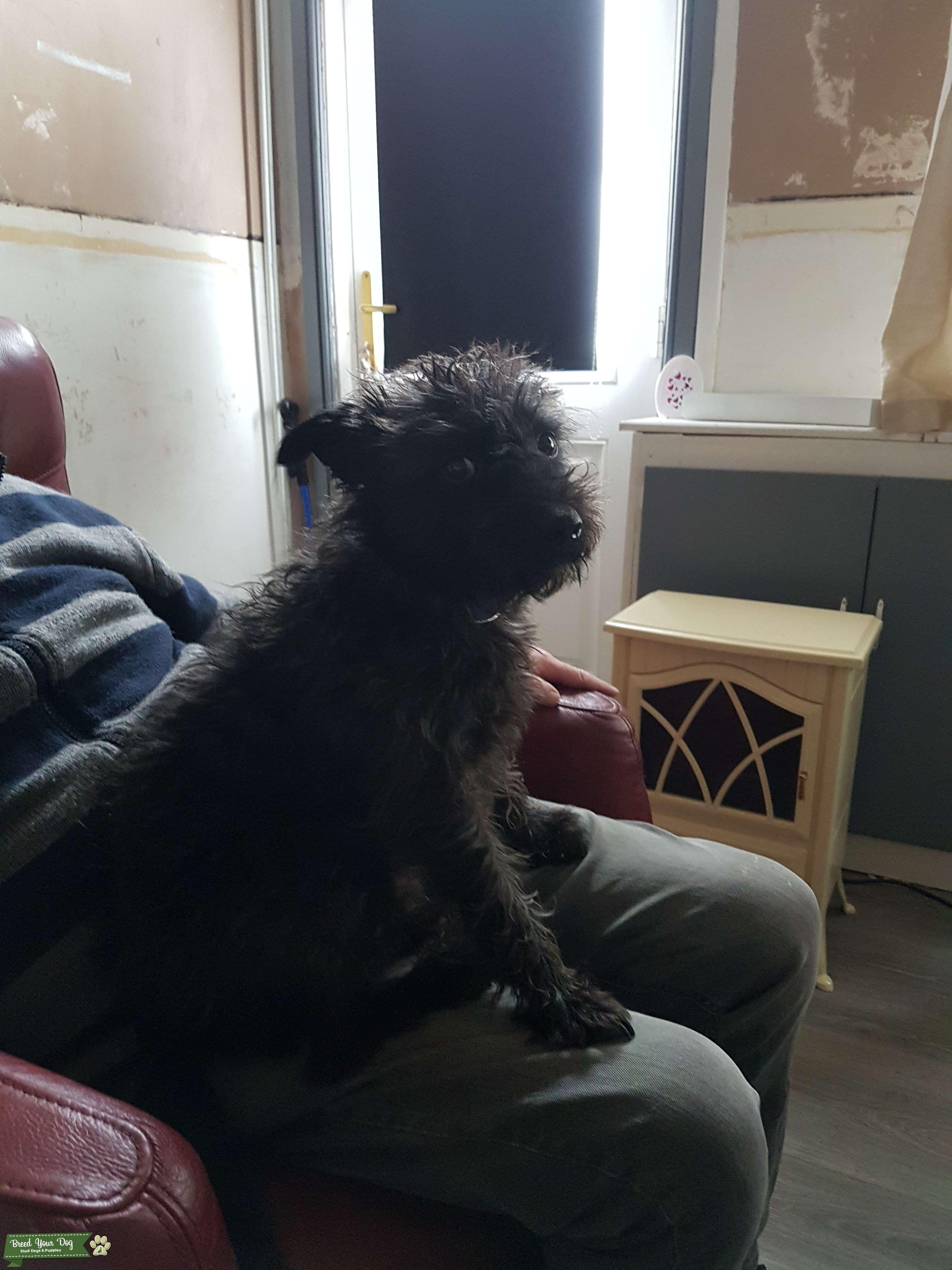 Patterdale terrier  Listing Image Big