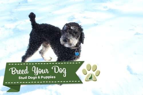 AKC Phantom Standard Poodle for STUD Listing Image Big