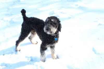 AKC Phantom Standard Poodle for STUD Listing Image