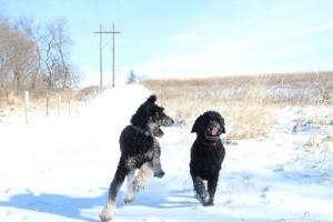 AKC Phantom Standard Poodle for STUD Listing Image Thumbnail