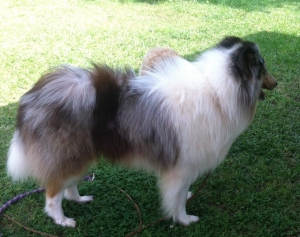 AKC Blue Merle Rough Coat Collie Listing Image