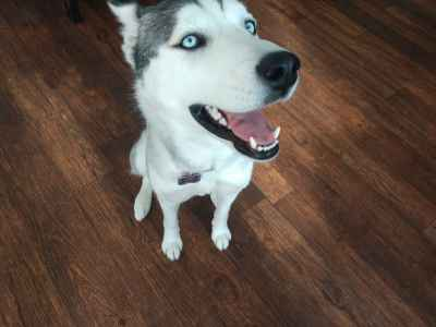 Need a stud for Luna our purebred Siberian husky Listing Image