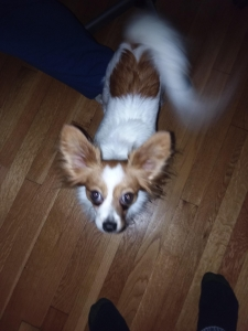 Papillon - AKC Pedigree registered,  Markings like flowers. Extremely great all-around dog.  Would like for puppies soon.   Looking for male Papillon with similar qualities. Listing Image Thumbnail