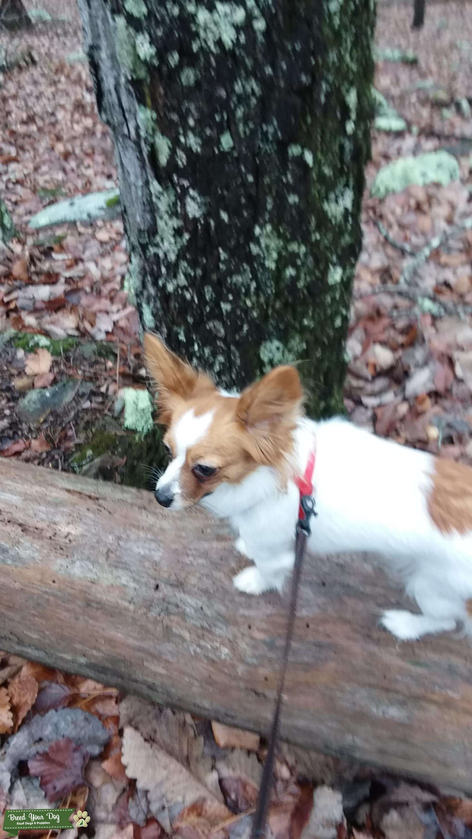 Papillon - AKC Pedigree registered,  Markings like flowers. Extremely great all-around dog.  Would like for puppies soon.   Looking for male Papillon with similar qualities. Listing Image Big