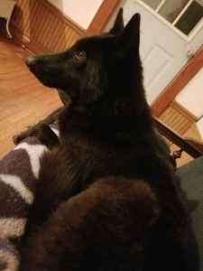Female wolfdog Listing Image