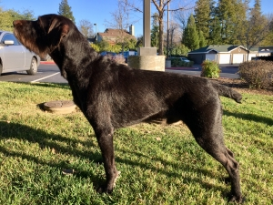German Wirehaired Pointer stud dog Listing Image
