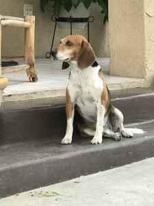 Beagle Male  Listing Image