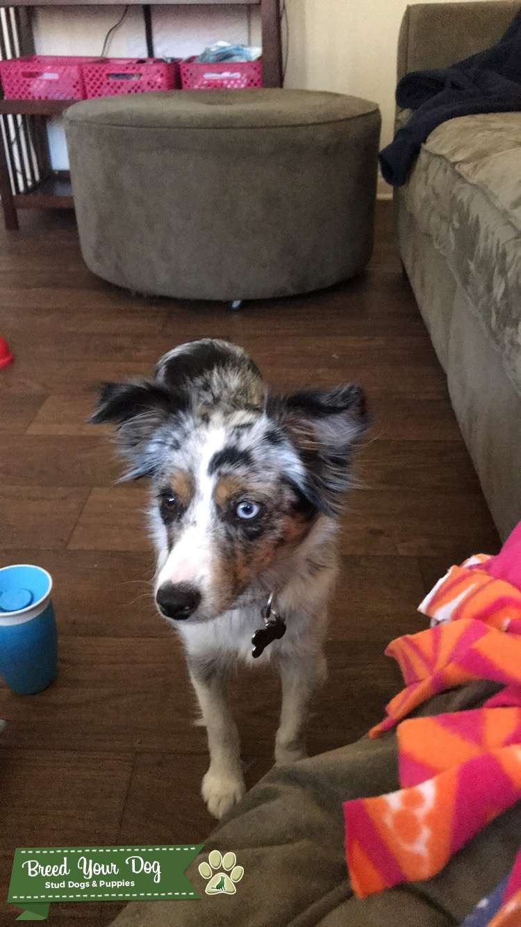 Blue Merel Mini Aussie Looking to Breed Listing Image Big