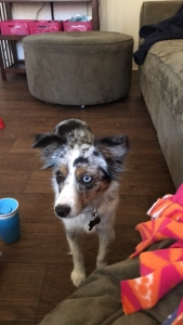 Blue Merel Mini Aussie Looking to Breed Listing Image Thumbnail